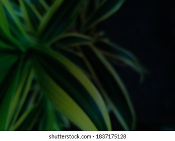 Blur photo of the ornamental plant Dracaena reflexa