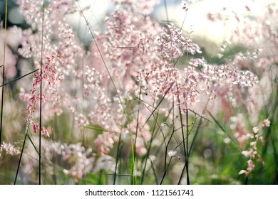 Blur pink flower ,Out of focus image and soft the natal grass(natal redtop, ruby grass, Melinis repens) with sunlight and bokeh background.
