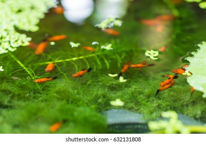 Blur the red guppy fish in the pond.