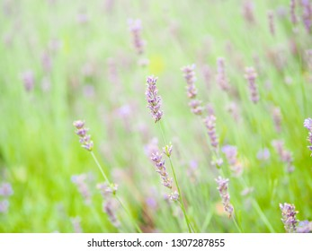 Blur and soft lavender field in Furano, Hokkaido for natural background