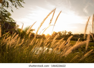 blur and soft silhouette of grass flowers (poaceae) with soft golden light, grass flowers in natural with blurred background,abstrat background
