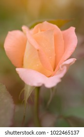 Blur and soft-focus of a pink rose with dewdrops on the petals. The rose looks pretty in the mist with soft morning light during the summertime.