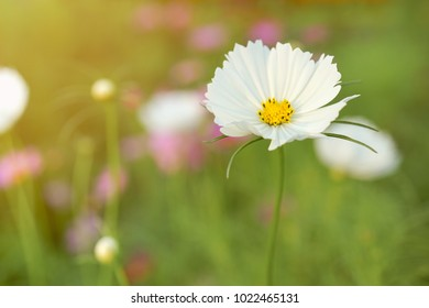 Blur and soft-focus of white cosmoses with the evening light and faded nature background in the summertime.