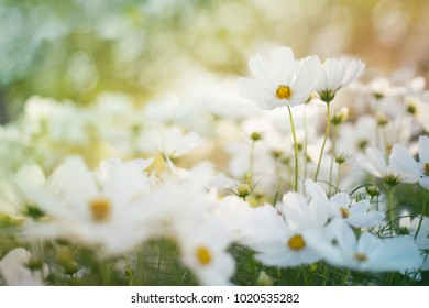 Blur and soft-focus of the white cosmoses in the flower garden with gradient pastel color.