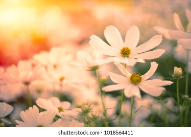 Blur and soft-focus of white cosmoses in the summertime with a faded fiery background of the evening light.