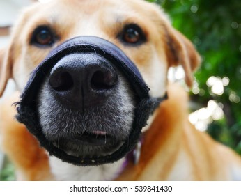 a blurly brown labrador dog wearing a black muzzle in front of blurly green backgound  ,dog's face close up