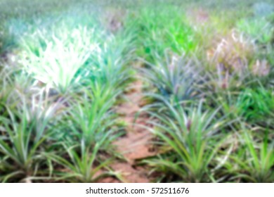 Blurred abstract background and can be illustration to article of pineapple farm