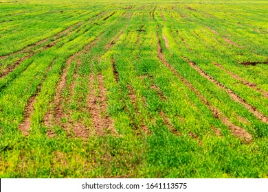 Blurred abstract green crop field background, selective focus, shallow depth of field at Zlato Pole or Gold Field Protected Area, Municipality of Dimitrovgrad, Haskovo Province, Bulgaria - Shutterstock ID 1641113575