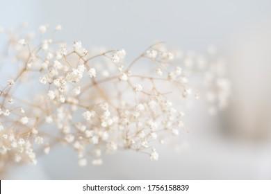 Blurred baby breaths in soft white background