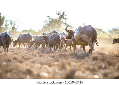 Blurred background of animals that find food in the grasslands, Thai buffalo that live in the fields, yes in agriculture and sow the seasons.