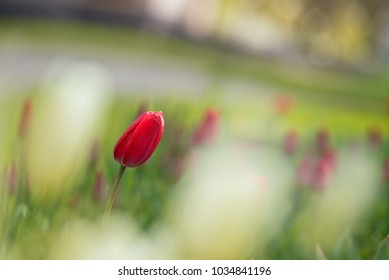 Blurred background of a blooming field and one Tulip in focus.