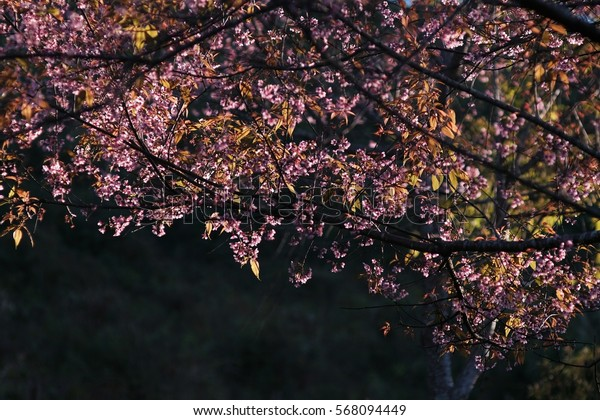 Blurred background of cherry blossum flowers (Prunus cerasodes) with sunlight in the morning on dark background