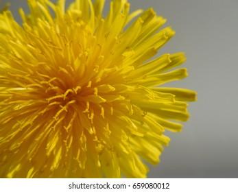 Blurred background of a dandelion