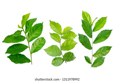 Blurred for background.Put forth fresh leaves isolated on white background.