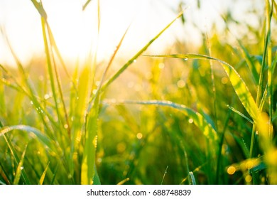 Blurred background of grass and sunlight. dew on grass stems
