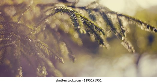 Blurred background  with green fir-tree branches and bokeh