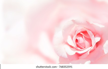 Blurred background with rose of pink color. Copy space for your text. Mock up template. Can be used for wallpaper, wedding cards, web page banner