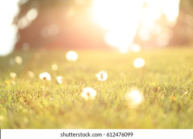 Blurred background of the sun shinning on a grassy meadow with dandelions.