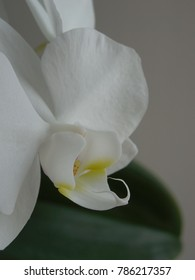 Blurred background of a white orchid flower.