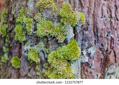 Blurred for background.Green mos on Trunk background,Trunk With Green Mos.