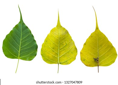 Blurred for Background.Sacred fig leaf (Bo Tree,Ficus religiosa L., Bohhi Tree , Pipal Tree) on white background.Clipping Path.