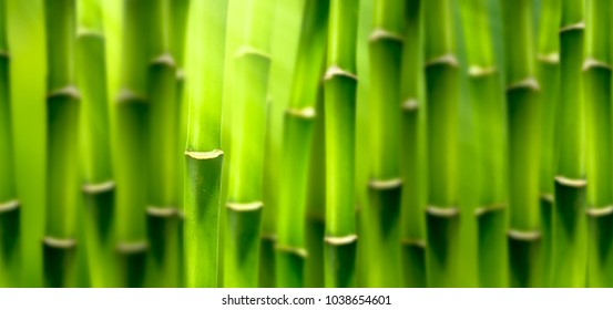 blurred bamboo forest background panorama