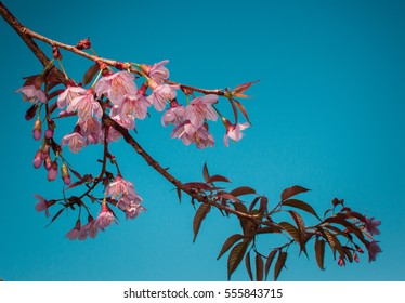 Blurred Beautifully Sakura Flower,Cherry tree. White and pink blossoms with sunshine and blue skies. Nice nature blurred background in spring. Blossom Sakura tree over nature background.Vintage filter