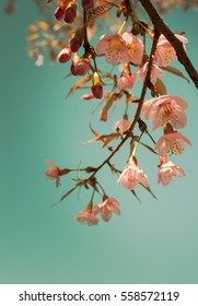 Blurred Beautifully Sakura(Cherry) tree. Pastel blossoms with sunshine and blue skies. Nice nature blurred background in spring. Blossom Sakura tree over nature background- Vintage filter (Soft focus)
