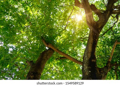 blurred Big tree nature green wood sunlight backgrounds. The sun shining through a majestic green tree. Beautiful landscape of asian forest photographed in forest.