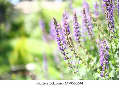 Blurred blooming sage with sunlight green fields. Natural background. Purple wildflowers