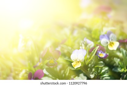 Blurred blossoming pansies flowers in sun light. Natural spring background. Selective focus, shallow DOF