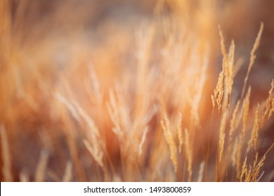 Blurred Bokeh Background With Autumn Dry Grass. Boke Bokeh Grass In Sunlight Colors.