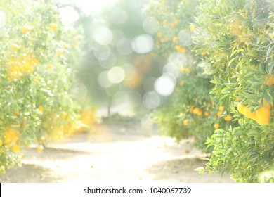 A blurred bokeh background of an orange orchard.
