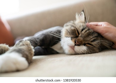 Blurred boy's hand stroking the head of a cross breed Maine Coon Persian cat to sleep