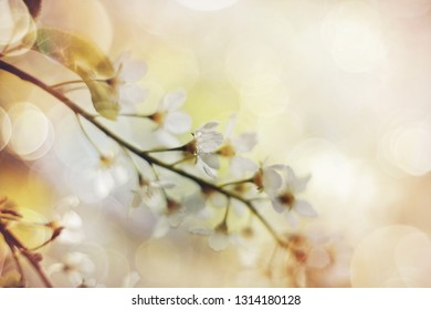 Blurred cherry branch with white flowers in the spring