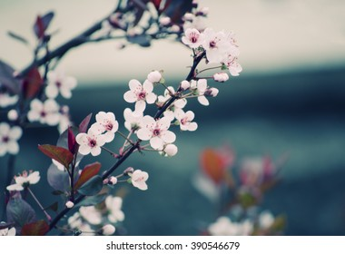 Blurred cherry-tree flowers as a floral background (shallow DOF, retro style)