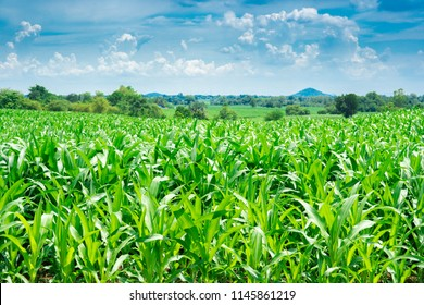 Blurred corn or maize field on mountain and sky blue or azure sky and cloud
