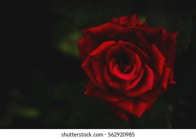Blurred of dark rose,Valentines Day background