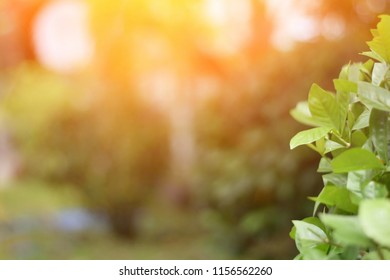 Blurred defocused green leaves with sunlight and beam in the garden for illustration morning sunshines in a park concept or blurred nature background.