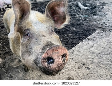 Blurred defocused photo.Happy pig with dirty snout poses for the camera.