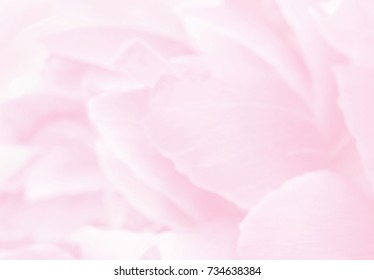 Blurred delicate rose petals, unfocused abstract flower background, pastel and soft floral card