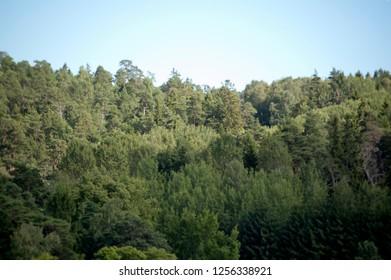Blurred Evergreen Forest Background