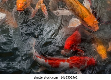 Blurred of Fancy carp fishes , mirror carp, Romaji, Koi, Nishikigoi are subspecies Cyprinus carpio haematopterus is a species of carp that has been developed from ordinary carp rise to beautiful fish.