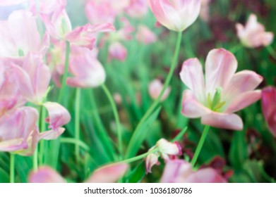 Blurred flower tulips green tree nature abstact  background in park garden