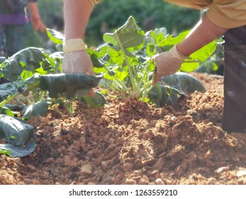 blurred gardener working put vegetable in garden. organic farm. agriculture and people concept.