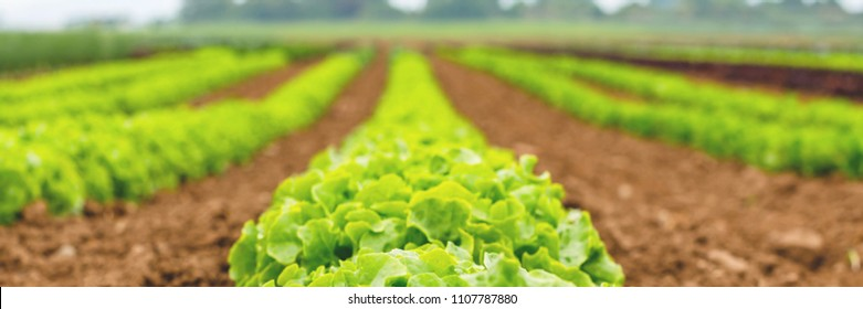 Blurred Gardening  banner background with green lettuce plants. Agricultural field with Green lettuce leaves on garden beds in the vegetable field.
