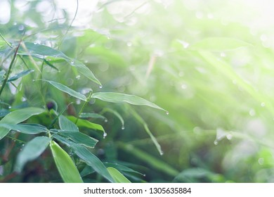 Blurred green bamboo leaf with water drop background in Morning summer season