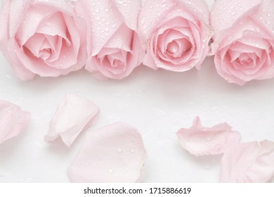 Blurred a group of sweet pink roses blossom with droplets and corollas on white isolated background,softly style