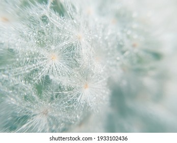 Blurred image, fade color tone of white feather cactus surface, Mammillaria Plumosa, use for background
