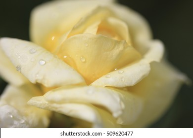 Pale yellow flower images stock photos vectors shutterstock blurred image of flower tea rose with water drops closeup mightylinksfo Choice Image
